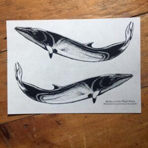 Minke Whale Art Print
