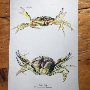 Shore Crab Art Print